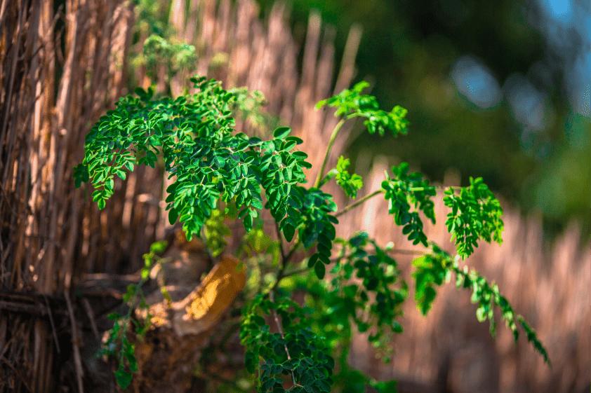 closeup moringa olifeira plant