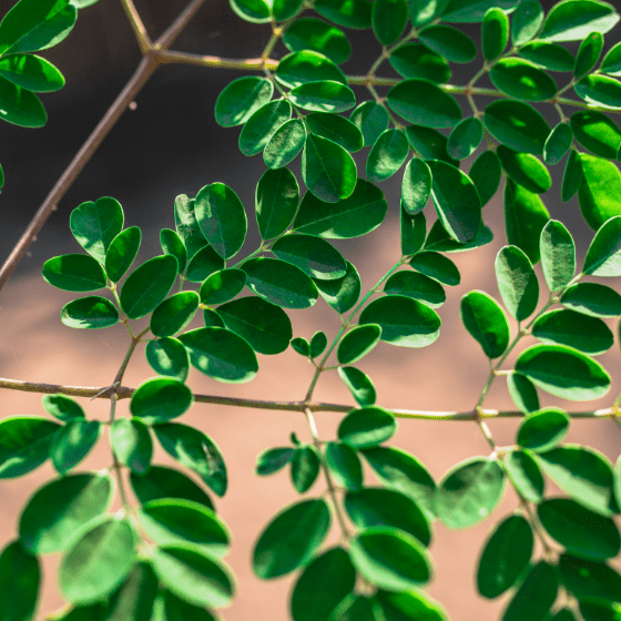 Moringa olifeira leaves closeup