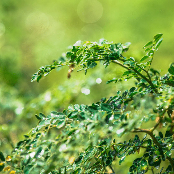 Moringa Olifeira Closeup