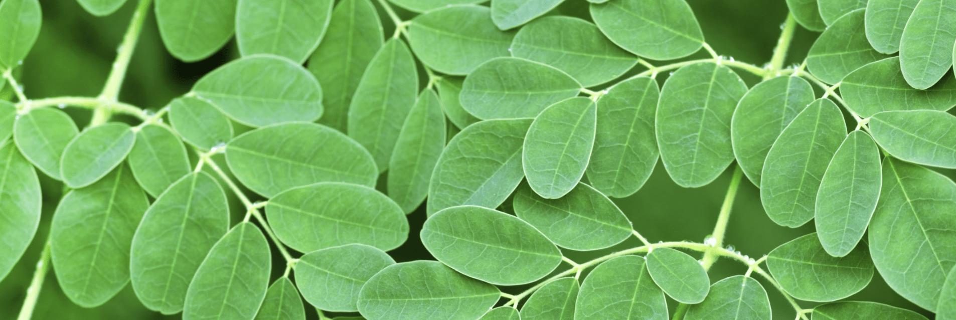 Yamba moringa closeup leaf